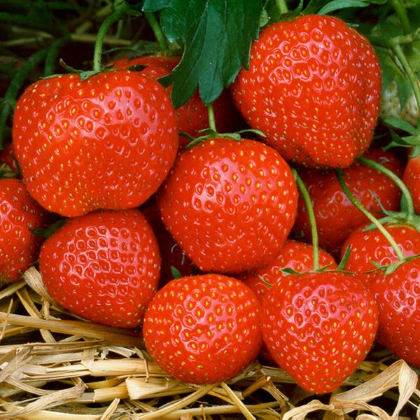 Elsanta' Strawberry Plants | Pack of 5 Bare Roots