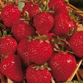 Honeoye' Strawberry Plants | Pack of 5 Bare Roots