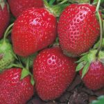 Strawberry 'Red Gauntlet' (Pack of 5) Bare root