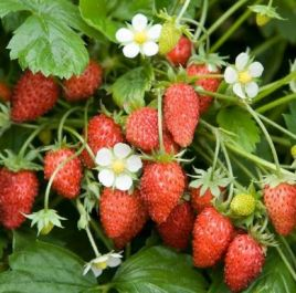 Judibell' Strawberry Plants | Pack of 5 Bare Roots