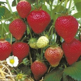 Florence' Strawberry Plants | Pack of 5 Bare Roots