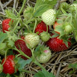 Rhapsody' Strawberry Plants | Pack of 5 Bare Roots