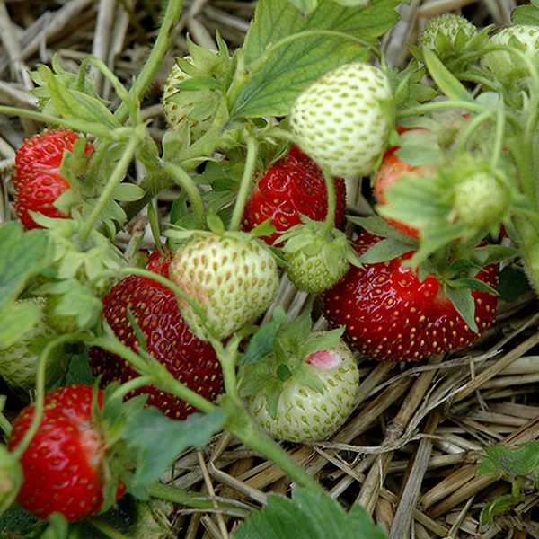Strawberry 'Rhapsody' (Pack of 5) Bare root