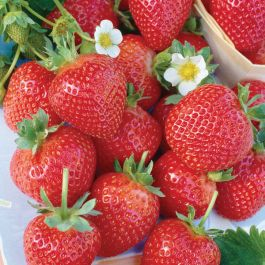 Albion' Strawberry Plants | Pack of 5 Bare Roots