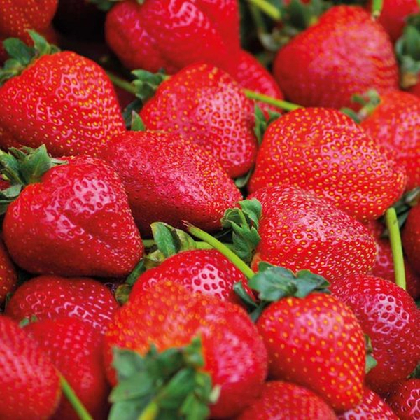 Calypso' Strawberry Plants | Pack of 5 Bare Roots