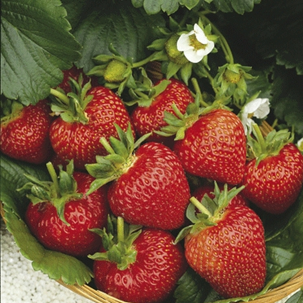 Strawberry 'Flamenco' (everbearer) (Pack of 5) Bare root