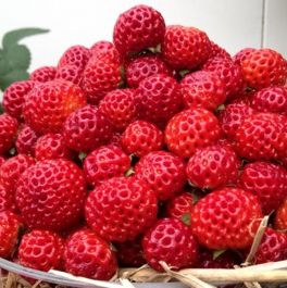 Framberry' Strawberry Plants | Pack of 5 Bare Roots