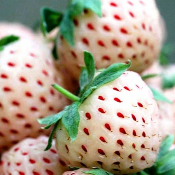 Pineberry' Strawberry Plants | Pack of 5 Bare Roots