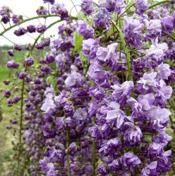 3ft Wisteria Black Dragon | 3L Pot | Wisteria floribunda 'Violacea Plena'