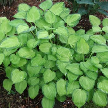 Hosta 'Emerald Tiara' - 4L pot