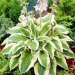 Hosta 'Mama Mia' - 2L pot