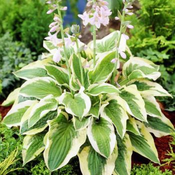 Hosta 'Mama Mia' - 4L pot