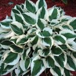 Hosta 'Patriot' - 2L pot