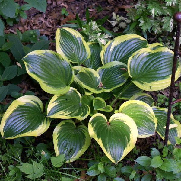 Hosta 'Queen Josephine' - 2L pot