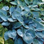 Hosta tardiana 'Hadspen Blue' - 2L pot
