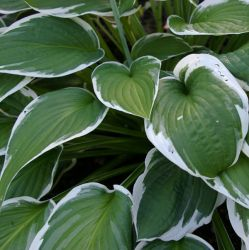 Hosta fortunei 'Francee' - 4L pot