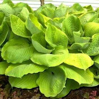 Hosta fortunei 'Sum & Substance' - 4L pot