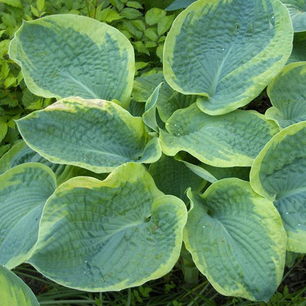 Hosta sieboldiana 'Frances Williams' - 4L pot