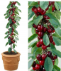 5ft 'Sunburst' Cordon Cherry Tree | Colt Semi Vigorous Rootstock  | 8L Pot