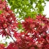 6ft Bloodgood' Acer Tree | 30L Pot | Acer Palmatum