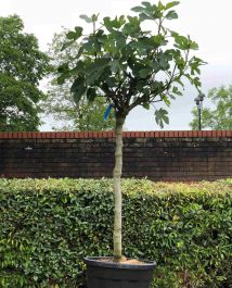 7ft 'Specimen 'Brown Turkey' Fig Tree |Half Standard | 70L Pot | 14/16cm Girth
