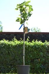 7ft 'Brown Turkey' Fig Tree | Half Standard | 10L Pot