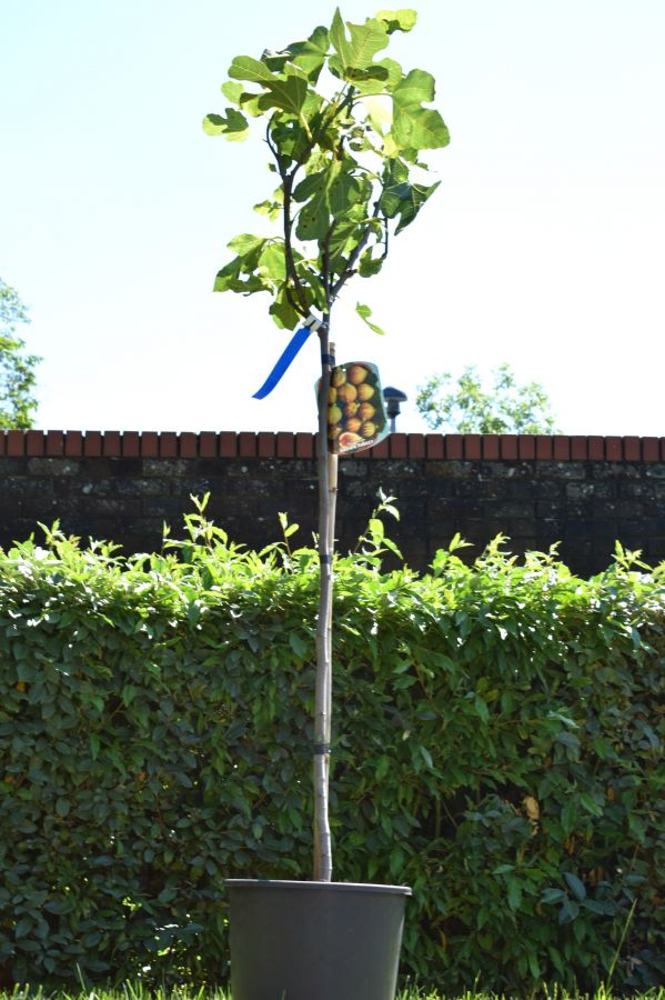 Fig Tree 'Brown Turkey' Half Standard - 10L Pot