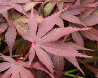2ft Atropurpureum Acer Tree | 7.5L Pot | Acer Palmatum