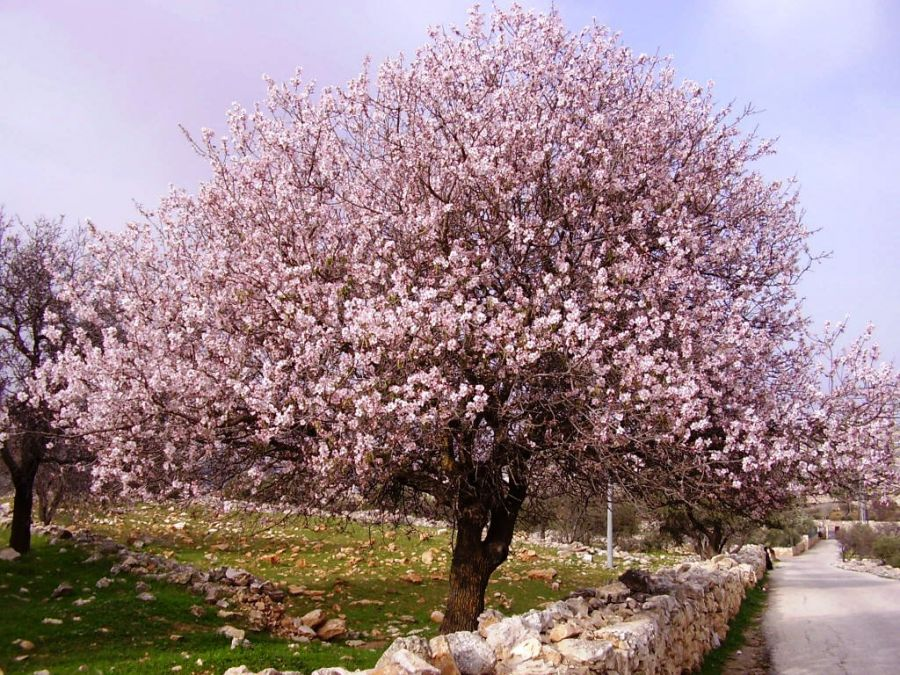 5ft 'Princess' Almond Tree | Bare Root