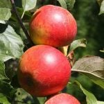 Christmas Pippin Patio Apple Tree - 11.5 Pot