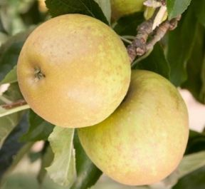 4ft 'Herefordshire Russet® Patio Dessert Apple Tree | M27 Dwarfing Rootstock | 11.5L Pot | By Frank P Matthews™