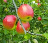 Apple Redsleeves Bare Root