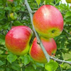 5ft 'Redsleeves' Dessert Apple Tree | M26 Semi Dwarfing Rootstock | Bare Root