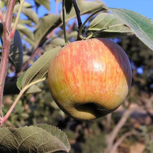 5ft 'Ribston Pippin' Dual Purpose Apple Tree | M26 Semi Dwarfing Rootstock | Bare Root