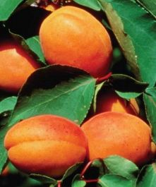 5ft 'Alfred' Apricot Tree | myrobalan Vigorous Rootstock  | Bare Root