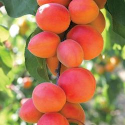 5ft 'Flavourcot' Apricot Tree | SJA Semi Vigorous Rootstock  | Bare Root