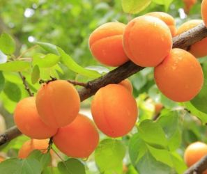 5ft 'Golden Glow' Apricot Tree | SJA Semi Vigorous Rootstock  | Bare Root