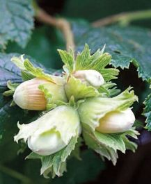 3ft 'Cosford Cob' Cobnut Bush | Bare Root