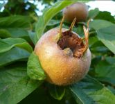 Medlar Royal Bare Root