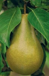 5ft 'Beth' Pear Tree | Quince A Semi Dwarfing Rootstock | 12L Pot | By Frank P Matthews™