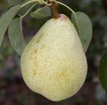 Pear Invincible / Fertilia Bare Root