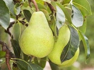5ft 'Packhams Triumph' Pear Tree | Quince A Semi Dwarfing Rootstock | Bare Root