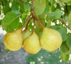 5ft 'Petite Poire' Pear Tree | Quince A Semi Dwarfing Rootstock | Bare Root