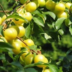 5ft Mirabelle 'Golden Sphere' Plum Tree | SJA Semi Vigorous Rootstock | 9L Pot