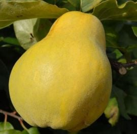 5ft 'Champion' Quince Tree | Quince A Semi Dwarfing Rootstock | 9L Pot