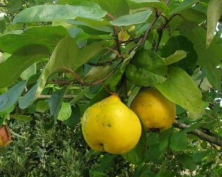 5ft 'Portugal / Lusitanica' Quince Tree | Quince A Semi Dwarfing Rootstock | Bare Root
