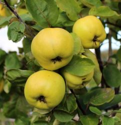 4ft Serbian Gold' Patio Quince Tree | Quince A Semi Dwarfing Rootstock | 4.5L Pot