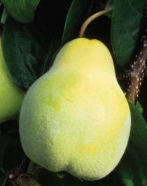 5ft 'Meeche's Prolific' Quince Tree | Quince A Semi Dwarfing Rootstock | 9L Pot