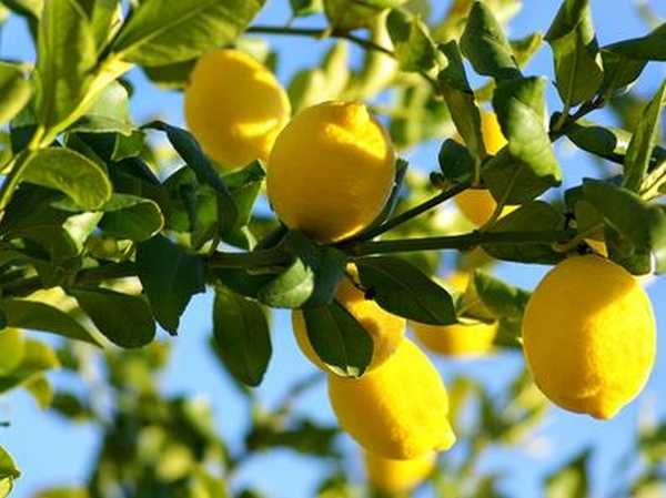 Eureka Lemon Tree 5L 40-60cm - 4 Seasons lemon, grafted mini-stem 5L