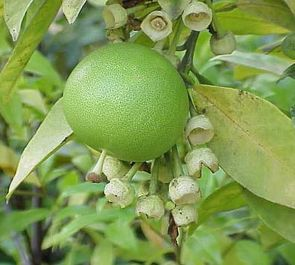 Tahiti Lime Tree 5L 40-60cm / Citrus × latifolia grafted mini-stem